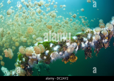 Endemic Anemones feeding on Mastigias Jellyfish, Entacmaea medusivora, Mastigias papua etpisonii, Micronesia, Palau - Stock Photo