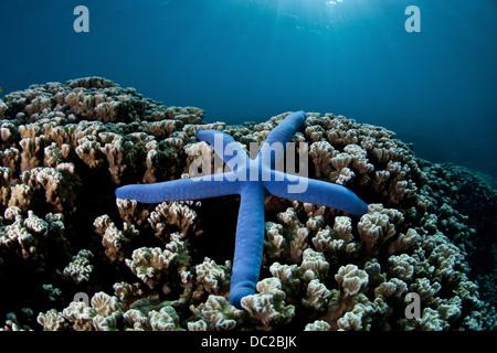 Blue Seastar on Coral Reef, Linckia laevigata, Micronesia, Palau - Stock Photo