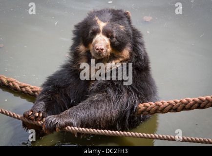 Andean Bear or Spectacled Bear bathing at South Lakes Wild Animal Park - Stock Photo