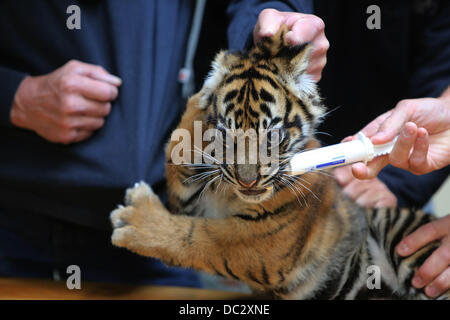 Arnhem, in the Netherlands. 8th Aug, 2013. A three-month-old tiger twin receives an extensive medical examination - Stock Photo