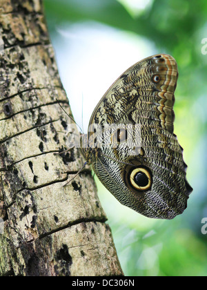 A Forest Giant Owl butterfly (Caligo eurilochus) perching on a tree trunk. Butterfly house, Leipzig, Germany. - Stock Photo