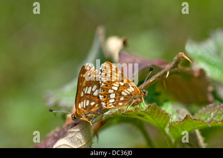Duke of Burgundy fritillary,(Hamearis lucina). Pair. - Stock Photo