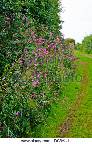 red campion silene dioica perennial shrub with masses of pink flowers in a hedgerow - Stock Photo