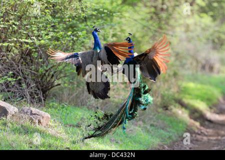 Fighting Peacocks Indian Peafowl (Pavo cristatus) - Stock Photo
