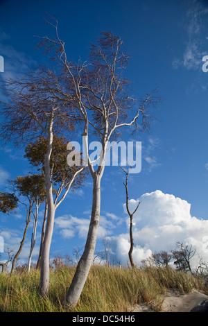 Europa, Deutschland, Mecklenburg-Vorpommern,Fischland-Darss-Zingst,Prerow   trees in the dunes - Stock Photo