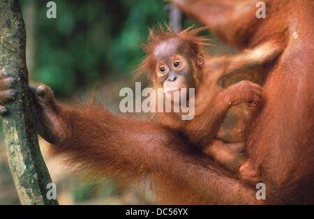 Orang-Utan (Pongo pygmaeus) with young. Gunung Leuser National Park. Indonesia - Stock Photo