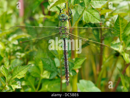 Emperor Dragonfly - Anax imperator Female - Stock Photo