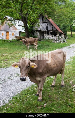 Cows on organic farm in Triglav National Park , Slovenia - Stock Photo