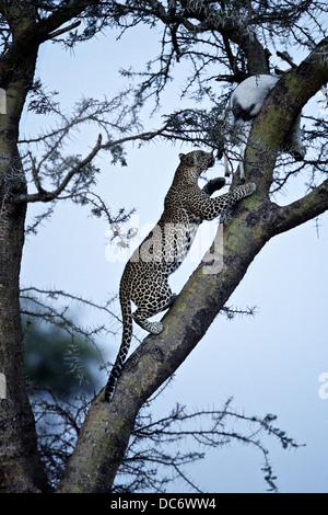 Leopard climbs tree to retrieve its kill. Serengeti Tanzania
