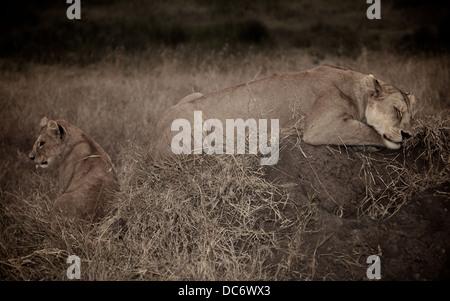 Female mother lion sleeps with her cub. Serengeti . Tanzania Africa. - Stock Photo