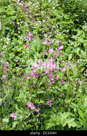 Red Campion growing at Jackson's Brickworks Middlewood Way Poynton Cheshire England. - Stock Photo