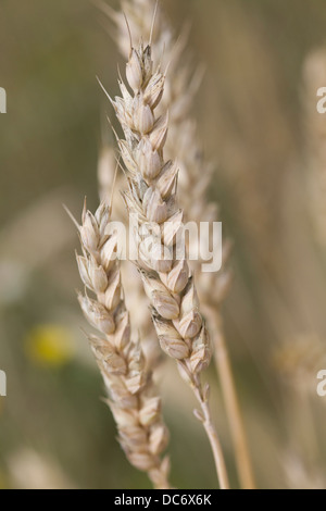 Common wheat Triticum aestivum Growing - Stock Photo