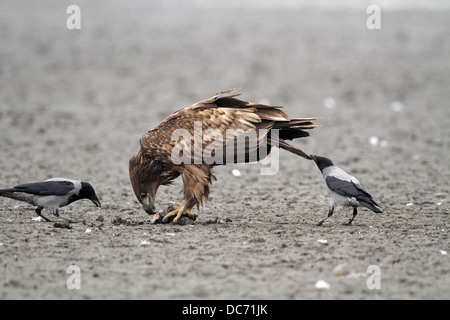 White-tailed Eagle, Haliaeetus albicilla, getting tail pulled by Hooded Crow to distract it from feeding on fish - Stock Photo