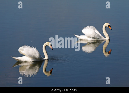 Pair of graceful white swans and their reflection on a calm lake - Stock Photo