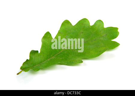 Single oak leaf isolated over white - Stock Photo