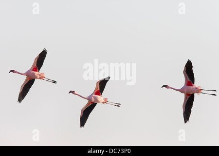 Lesser flamingoes (Phoenicopterus minor), in flight, Walvis Bay Lagoon, Namibia, Africa, May, 2013 - Stock Photo