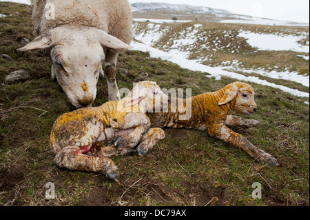 Texel ewe with newborn twin lambs in snowy field. - Stock Photo