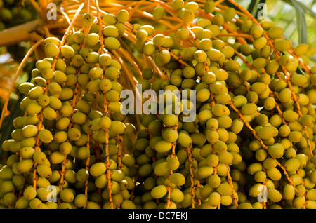 Clusters of Fruit of the Canary Island Date Palm, Phoenix canariensis. Andalusia, Spain. - Stock Photo