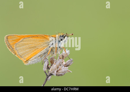 Close up from a Small Skipper - Stock Photo