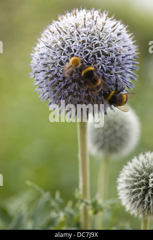 Bumble Bees on Echinops bannaticus 'Taplow Blue' flowers - Stock Photo