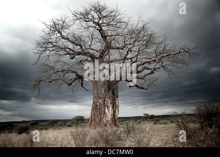 Baobab tree with bark removed from lower trunk by elephants. Tarangire national park. Tanzania - Stock Photo