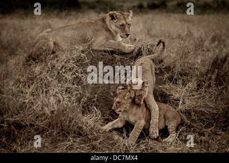 Female lion mother  watches her cubs fight . Serengeti . Tanzania Africa. - Stock Photo