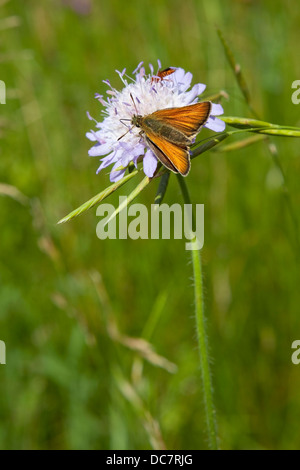 A large skipper butterfly, 'Latin name Ochlodes venatus feeding on a field scabious flower - Stock Photo