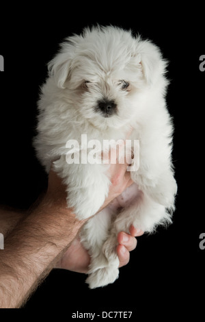 closeup of a baby poodle isolated on a black background - Stock Photo