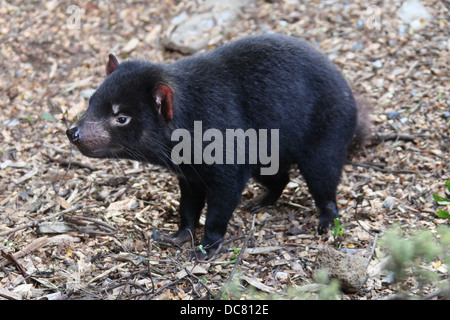 Tasmanian Devil at Cradle Mountain - Stock Photo