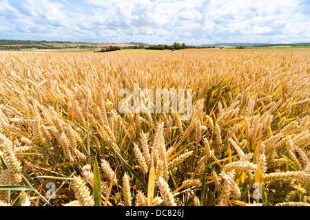Ears of wheat, grain, in wheat field, fields, wheatfield, wheatfields in summer. Landscape landscapes - Stock Photo