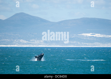 Southern Right Whale (Eubalaena australis), Hermanus, Western Cape, South Africa - Stock Photo