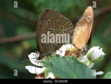 Macro image of a brown Ringlet (Aphantopus hyperantus) butterfly foraging on a flower with another in the background - Stock Photo