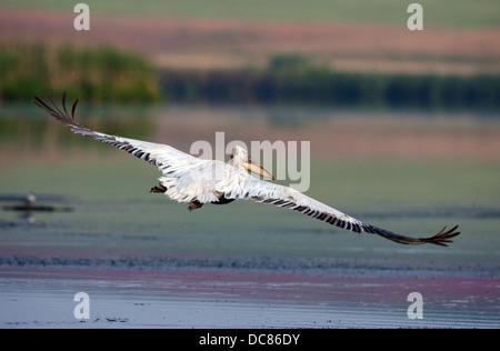 One Dalmatian pelican flying over the lake in Danube Delta,Romania - Stock Photo