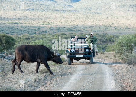 Buffalo (Syncerus caffer caffer) and safari vehicle, Kwandwe Game Reserve, South Africa - Stock Photo
