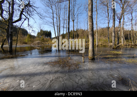 Eurasian Beaver (Castor fiber) vieuw in winter of hut build by beaver in a flooded area - Stock Photo
