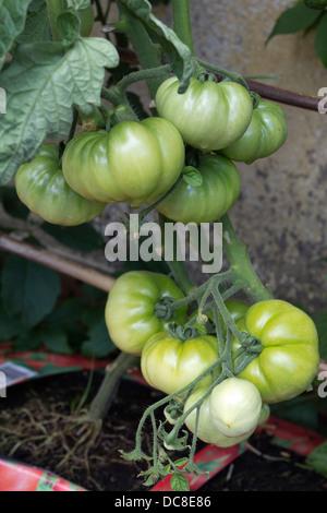 Home grown unripe beefsteak tomatoes on the vine - Stock Photo