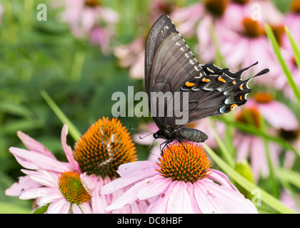 Eastern Tiger Swallowtail Butterfly - Papilio glaucus - Stock Photo