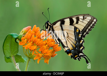 Eastern Tiger Swallowtail Butterfly Papilio glaucus feeding on Butterfly Weed Asclepias tuberosa  E USA - Stock Photo