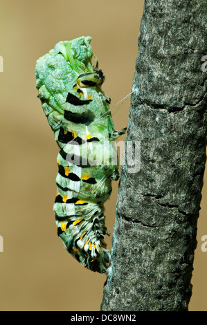 E Black Swallowtail Butterfly Papilio polyxenes pupa shedding it's skin E USA - Stock Photo