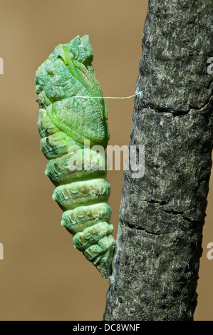 E Black Swallowtail Butterfly Papilio polyxenes pupa just after shedding it's skin E USA - Stock Photo