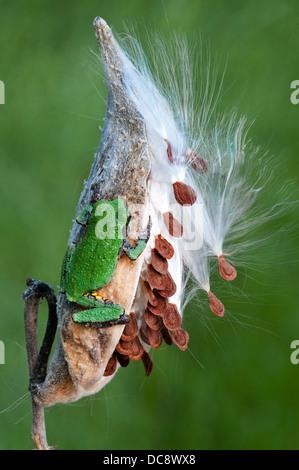 Common Gray Tree Frog Hyla versicolor on Milkweed Asclepias syriaca seed pod Eastern USA Mi. - Stock Photo