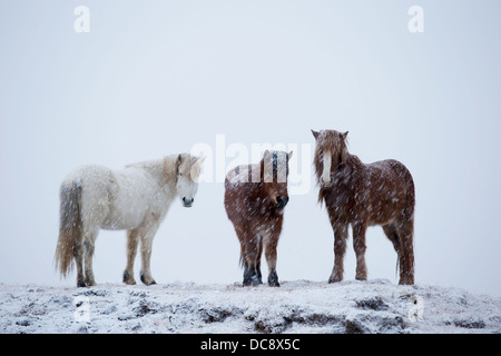 Icelandic horses standing in a snowstorm; Iceland - Stock Photo