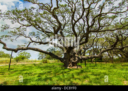 The Big Tree, one of the oldest live oaks in Texas, was spreading its long branches supported by several old man's - Stock Photo