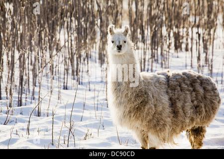 Single llama in snow covered treed area;Alberta canada - Stock Photo