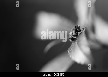 Black and white photograph of a hoverfly resting on a leaf - Stock Photo
