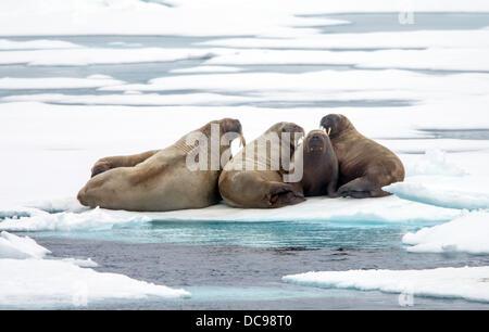 walruses on drift ice, odobenus rosmarus
