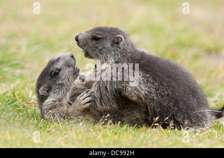 Alpine Marmots (Marmota marmota), young animals playing - Stock Photo