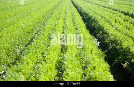 Crop carrots growing field Shottisham, Suffolk, England - Stock Photo