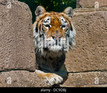 Aysha, Bengal Tiger female (panthera tigris tigris), Isle of Wight Zoo, Sandown, Isle of Wight, England - Stock Photo