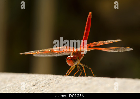Scarlet Darter, Crocothemis erythraea in full sun performing 'handstand' to minimise heat. Andalusia, Spain. - Stock Photo
